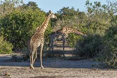 DSC4846 Jirafa (Giraffa camelopardalis angolensis) en el Chobe N.P., Botsuana (Ramón Muñoz - Fotografía) Tags: botsuana chobe national park paque nacional de botswana jirafa giraffa camelopardalis angolensis