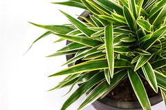 179214433 (My Dream Collection) Tags: backgrounds botany copyspace cutout decoration dracaena flower flowerpot frontview green growth houseplant indoors isolated isolatedonwhite leaf marginata multicolored nature nopeople ornate pink space striped studioshot white whitebackground tricolore
