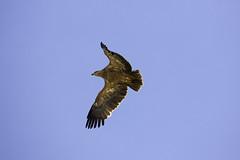Tawny Eagle (surfneng) Tags: africa safari serengetinationalpark tanzania tawnyeagle