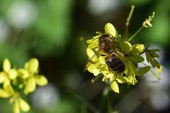 Visitando (rosaadda) Tags: macrofotografía macro nikon 5300 flowers flor flores insectos naturaleza nature fantasticnature