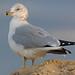 Ring-billed Gull - Larus delawarensis, Chincoteague National Wildlife Refuge, Chincoteague, Virginia