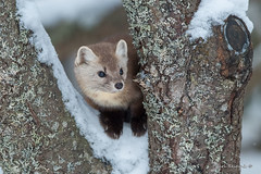 Yup, I'm cute.. (Earl Reinink) Tags: animal wildanimal martin pinemartin woods forest trees winter snow earlreinink zahddauaza