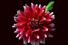 DÁLIA VERMELHA E BRANCA (romannoluiz) Tags: flor vermelho botânica outdoor royaltyfree evíssima dália dáliagermany vermelhaebranca branca pétalas natureza regiãometropolitanade curitibaparaná brasil almirantetamandaré nossacidade imagem google