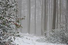 Feuilles piquantes et petites boules rouges en forêt (Excalibur67) Tags: nikon d750 sigma globalvision contemporary 100400f563dgoshsmc paysage landscape forest foréts arbres trees houx nature neige snow brume brouillard mist fog