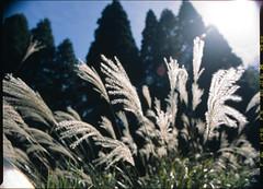 backlit grass (WilliamJosephJefferson) Tags: provia100f pentax45~85 pentax645 film analog art