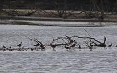 Barge rousse 2, Combattant varié, Bécasseau ccocorli - IMG_8960 (6franc6) Tags: réserve scamandre septembre 2018 occitanie languedoc gard 30 petitecamargue 6franc6