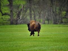 A Trotting Bison Heading Away (Custer State Park) (thor_mark ) Tags: alongroadside americanbison azimuth207 bison bisonbison blackhills capturenx2edited colorefexpro custerstatepark grassyarea grassyfield grassymeadow greatplains herdofbison hillsideoftrees hillsides hillsidesindistance hillsidesoffindistance landscape lookingssw meadows nature nikond800e northamericaplains outside pahásápa plainsbison project365 roadsidepulloff rollinghillsides southernblackhills trees wildlifeloop wildlifelooproad wildlifeloopstatescenicbyway southdakota unitedstates