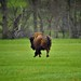 A Trotting Bison Heading Away (Custer State Park)