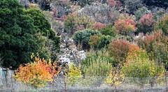 Colours like a firework! (Ia Löfquist) Tags: crete kreta hike hiking vandra vandring walk walking wander autumn höst colour color färg bush buske tree träd leaf löv