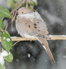 The Season's First Snow (tresed47) Tags: 2018 201811nov 20181115homebirds birds chestercounty content dove fall folder home november pennsylvania peterscamera petersphotos places season takenby us