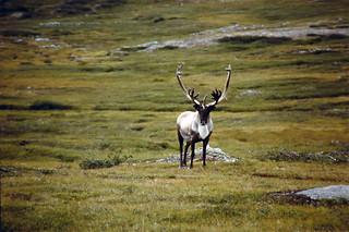 Newfoundland Caribou and Moose Hunting 11