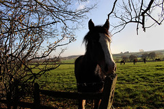 Hello (Malc '64') Tags: horse closeup field farm ossett yorkshire west branches canon nature green horses blue sky clear fence