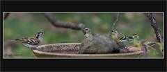 KUS850-1195 (Weinstöckle) Tags: vogel bergfink erlenzeisig vogeltränke