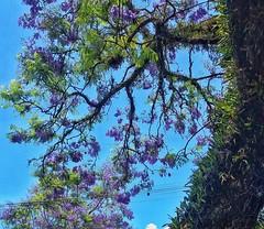 jacarandá (Jakza) Tags: árvore frenteafrente facotrywinner x2
