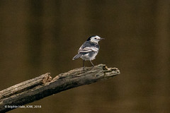 Pied Wagtail Perching (SLHPhotography1990) Tags: 2018 hersey life nature november reserve wild water bird autumn pied white wag tail wagtail perch wood