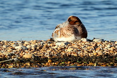 Wigeon-7D2_0395-001 (cherrytree54) Tags: wigeon rye harbour duck canon sigma 7d 150600 east sussex