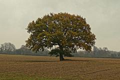 The Lonesome Oak (Geoff Henson) Tags: tree oak field sky dull wet autumn solitary leaves landscape