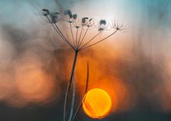 on the cusp (Simon[L]) Tags: sunset bokehballs sun orange blue bluehour beginning end trioplan100mmf28 meyeroptik