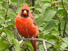 Northern Male Cardinal (Anton Shomali - Thank you for over 2 million views) Tags: male cardinal northern female red bird snow tree winter food hungry song back yard forest wood leaf redbird nikon coolpix p900 songbird rednose