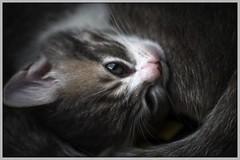 _DSC9693a CZJ Visionar 154/1.9 (barryleung28) Tags: kitten 子猫 小猫 고양이 새끼 chaton котенок gatito kätzchen ลูกแมว con mèo gattino adorable cute 可愛い 可愛い猫 可愛 carina mignonne mignonnerie 귀엽다 น่ารัก niedlich cat carl zeiss jena