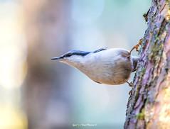 """Horisontaalne tervitus- Hei Hei !"" 🐦👋😊 (Igor ""Ixa"" Nael) Tags: puukoristaja lind bird sittaeuropaea nuthatch macrofoto macro puu wood nature wild"