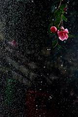 Flowers in the rain 2 (keiko*has) Tags: adulthomework strobe backlit sasanqua hose leaveataprunning 大人の宿題 ストロボ 逆光 山茶花 水道水 ホース