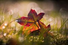 Fall (ursulamller900) Tags: mygarden liquidamberstyraciflua amberbaum leaves blätter helios442 bokeh herbst autumn autumncolors tautropfen