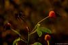 Hagebutten (günter mengedoth) Tags: carlzeissjenasonnar300mmf4 carl zeiss jena sonnar 300 mm f 4 manuell makro historisch pentax pentaxk1 pk pentaconsix p6 hagebutten strauch blatt rose bokeh czj