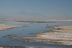 2017-11-09_0731_DSC_0679 (becklectic) Tags: 2017 atacamadesert atacamasaltflat birds chile flamingoes lagunachaxa lake piedrasrojastour regióndeantofagasta reservanacionallosflamencos salardeatacama sanpedrodeatacama flamingo flamingos