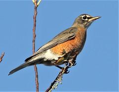 American Robin (Turdus migratorius) 11-04-2018 Assateague I. NS--Bayside Point, Worcester Co. MD (Birder20714) Tags: birds maryland thrushes turdidae turdus migratorius