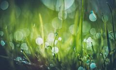 Grass bokeh (Dhina A) Tags: sony a7r a7r2 a7rii kaleinar100mmf28 kaleinar mc 100mm f28 grass droplets dew dewdrops bokeh