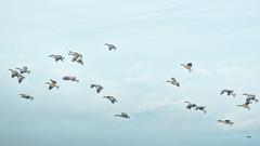Landing pattern (Melinda G Pix) Tags: geese hunting waterfowl