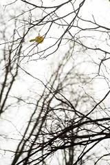 (kuuan) Tags: mf manualfocus canon ltm f35 100mm 35100 f35100mm canonltm canonltmf35100mm ilce7 sonya7 austria mostviertel branches aeste autunm herbst blatt trees baeume leaf foliage leaves
