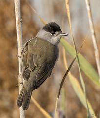 Curruca capirotada (Antonio Lorenzo Terrés) Tags: carrizo palustre curruca capirotada ave fauna bird pájaro parque natural nature