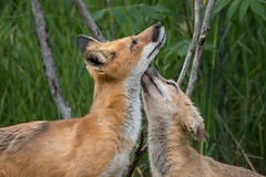 Fox Mother and Kit (NicoleW0000) Tags: red fox animal wild wildlife kit nature