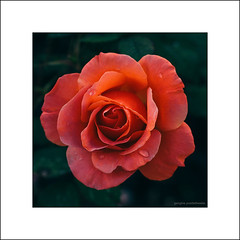 Raindrops on a rose (G. Postlethwaite esq.) Tags: canon40d canonefs60mmmacro dof beyondbokeh bokeh depthoffield flower garden peach petals photoborder plant primelens raindrops rose selectivefocus unlimitedphotos