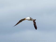 Seagull Flight (stewartbaird) Tags: bif nature seagull flight bird