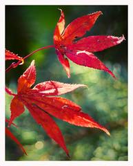 fiery red (kurtwolf303) Tags: ahorn blätter rot ahornblätter red plant pflanze baum tree kurtwolf303 mapleleaves mft omd flora olympusem1 microfourthirds natur nature mirrorless spiegellos herbst autumn fall