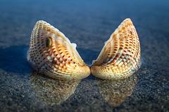 Beach combing (Petra Ries Images) Tags: ezuiko45cmf28 water sea closeup nahaufnahme seacreatures manualfocus manuallens beach strand strandgut shell muschel muschelschale seashell bivalves clam