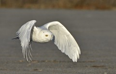 Flight Maneuvers (hd.niel) Tags: snowyowl owls arctic migration winter nature wildlife flight hunting photography raptor birds
