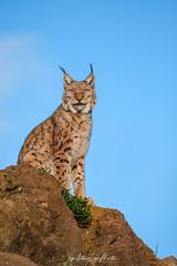 Lince Boreal (Lagier01) Tags: fauna linceboreal mamiferos nature parquenaturaldecabarceno animales
