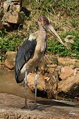Leptoptilos crumenifer (Marabou Stork) - Entebbe, Uganda (Nick Dean1) Tags: leptoptiloscrumenifer stork maraboustork animalia aves uganda lakevictoria entebbe scavenger thewonderfulworldofbirds birdperfect birdwatcher