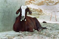 Oman 3 (Lennart Arendes) Tags: canon ae1 analog 35mm kodak gold 200 oman wadi shab goat animal 50mm