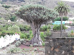 El Drago Milenario [2] (Ian R. Simpson) Tags: eldragomilenario drago dracaenadraco dragontree tree plant icoddelosvinos icod tenerife canaryislands spain