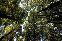 20190113-05-Forest (Roger T Wong) Tags: 2019 australia mtwedge rogertwong sel24105g sony24105 sonya7iii sonyalpha7iii sonyfe24105mmf4goss sonyilce7m3 tasmania bushwalk forest hike outdoors southwest tramp trek walk
