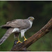 Northern Goshawk (female) - Havik (vrouw) (Accipiter gentillis) ...