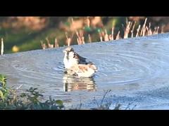 SPLISH SPLASH (Poppy ♥ Cocqué ♫) Tags: poppy ap poppycocqué song splishsplash cover video birds sparrows pigeon puddle rainwater guitar