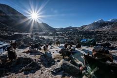 Sun and pack animals at Jichu Dramo camp - Wangdue Phodrang district - Snowman Trek - Bhutan (PascalBo) Tags: nikon d500 asie asia southasia asiedusud drukyul drukgyalkhap bhutan bhoutan འབྲུག་ཡུལ། འབྲུག་རྒྱལ་ཁབ་ snowman trek trekking hike hiking lunana wangduephodrang himalaya himalayas mountain montagne sky ciel tent bivouac camp campement expedition yak yack mule horse animal outdoor outdoors pascalboegli sun soleil