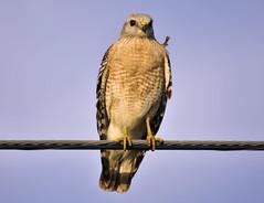 Red-Shouldered Hawk (ShacklefordPhotoArt) Tags: bird avian raptor hawk redshouldered evergladesnationalpark florida floridacity luckyhammock