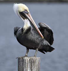Pelican bird  Hampton Va. (watts_photos) Tags: pelican bird hampton va birds wild wildlife nature virginia pier pond water sky